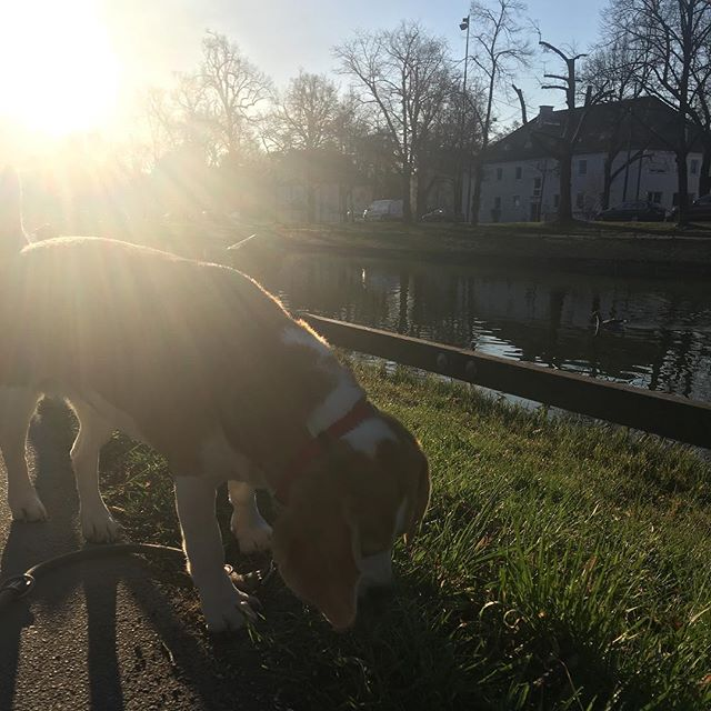 Here we go #nellythebeagle #beagle #munich