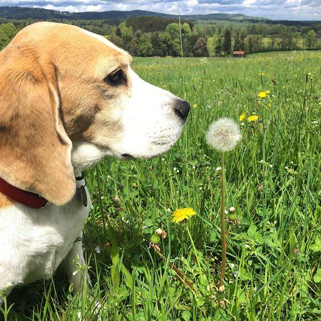 ️ #springtime #nellythebeagle #beagle #sun #happy️ #flowers